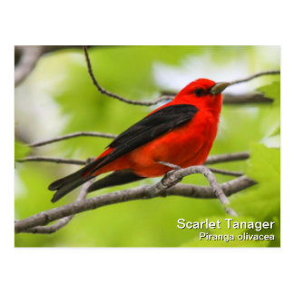 Scarlet Tanager Post Card