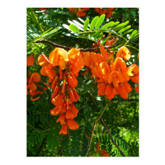 Scarlet Wisteria (Sesbania punicea) OBX NC Series Post Cards