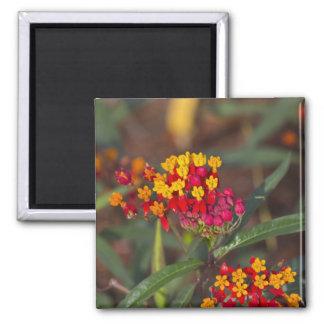 Scarlett Butterfly Milkweed Blank Card 2 Inch Square Magnet