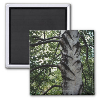 Scarred trunk of beech tree refrigerator magnet