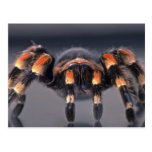 Scary Tarantula spider Post Cards