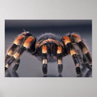 Scary Tarantula spider Poster