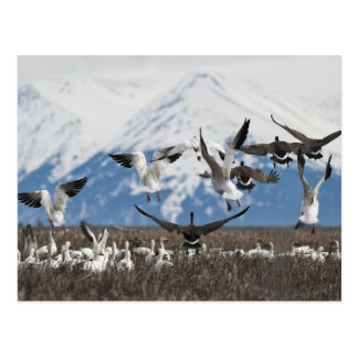 Scattering Geese Post Cards