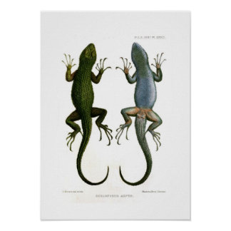 Sceloporus asper poster