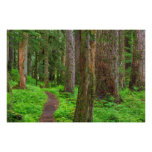 Scenic of old growth forest print