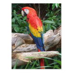 Scenic Scarlet Macaw Post Card