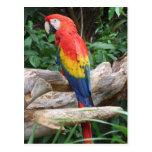 Scenic Scarlet Macaw Postcard