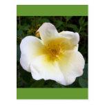Scented Cream Rose Post Cards