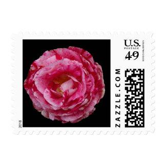 Scentimental floribunda rose postage