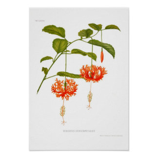 Schizopetalus del hibisco póster