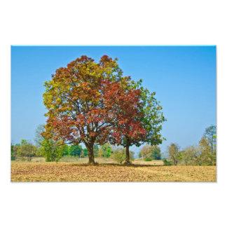 Schleichera oleosa/Ceylon oak/kusum tree Photo Print