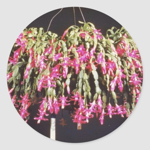 Schlumbergera rosado Bridgesii (cactus de navidad) Pegatina Redonda