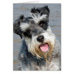 Schnauzer miniature dog cute photo at the beach greeting cards