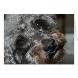 Schnoodle Sweetheart Card