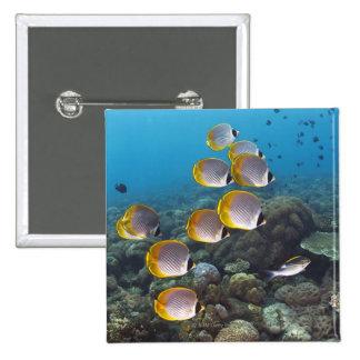 School of angelfish button