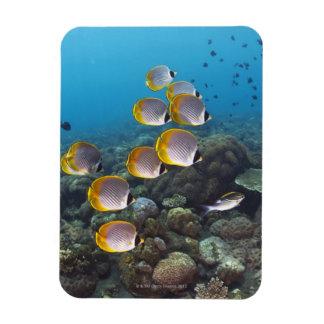 School of angelfish magnet
