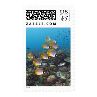 School of angelfish postage
