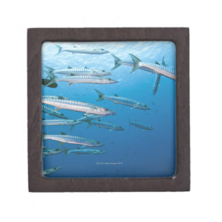 School of blackfin barracuda (Sphyraena qenie) Gift Box