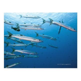 School of blackfin barracuda (Sphyraena qenie) Postcard