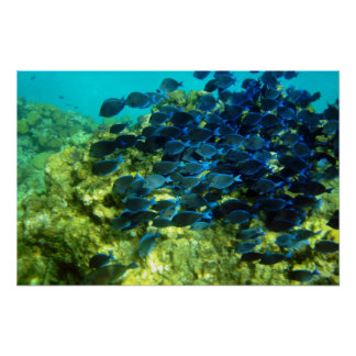 School of  Blue Tang Poster