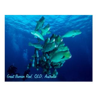 School of Bumpheaded Parrotfish Postcard