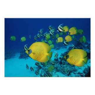 School of Butterfly Fish Swimming on the Seabed Poster