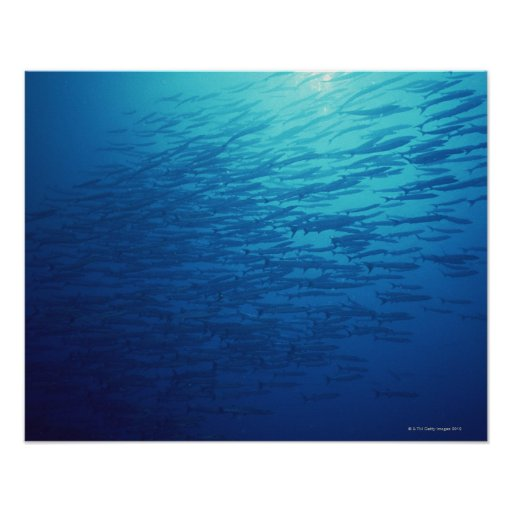 School of Fish 12 Poster