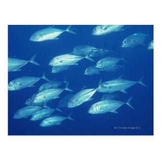 School of Fish 4 Postcard