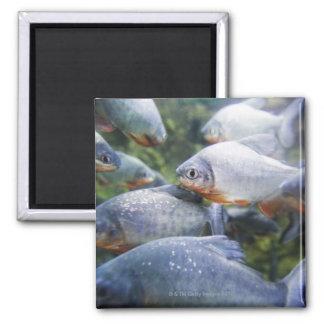 School of Piranhas (Pygocentrus nattereri) 2 Inch Square Magnet