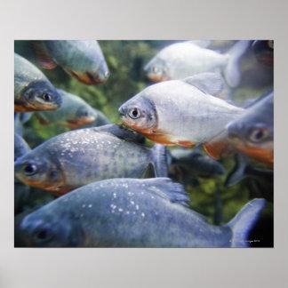 School of Piranhas (Pygocentrus nattereri) Poster