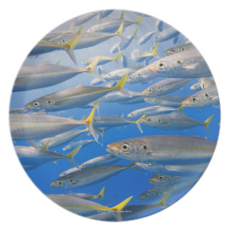 School of Rainbow Runners, Sea of Cortez, Mexico Plate
