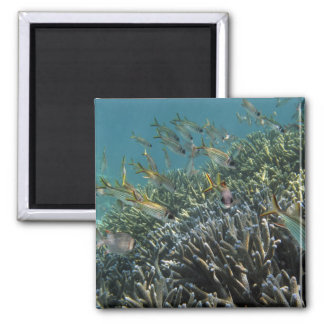 School of Spotfin Squirrelfish Neoniphon Magnet