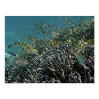 School of Spotfin Squirrelfish Neoniphon Poster