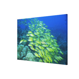 School of swimming bluelined snappers canvas print