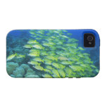 School of swimming bluelined snappers vibe iPhone 4 cover