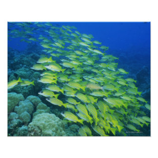 School of swimming bluelined snappers poster