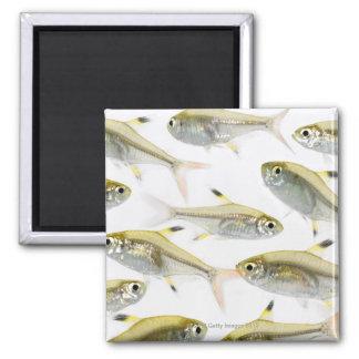 School of X-ray tetra fish (Pristella 2 Inch Square Magnet