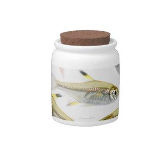 School of X-ray tetra fish (Pristella Candy Jars