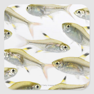School of X-ray tetra fish (Pristella Square Sticker