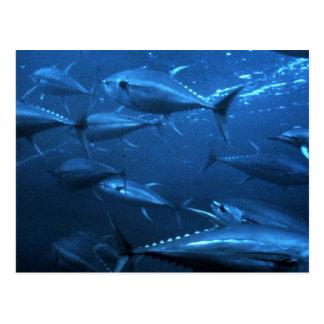 School of Yellowfin Tuna Postcard