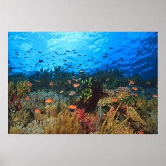 Schooling Anthias fish, Wetar Island, Banda Poster