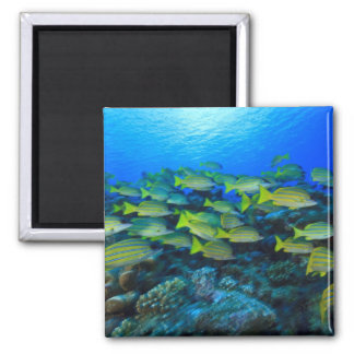 Schooling Bluestripped Snappers Lutjanus 2 Inch Square Magnet
