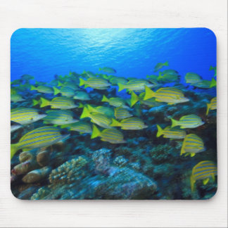 Schooling Bluestripped Snappers Lutjanus Mouse Pads