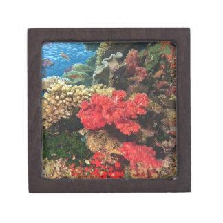 schooling Fairy Basslets  (Pseudanthias 2 Gift Box