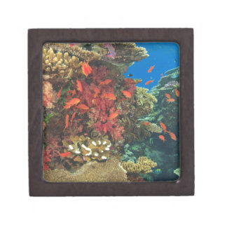 schooling Fairy Basslets  (Pseudanthias 3 Gift Box