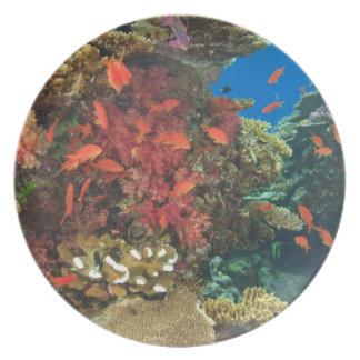 schooling Fairy Basslets  (Pseudanthias 3 Plates