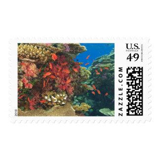 schooling Fairy Basslets  (Pseudanthias 3 Stamp