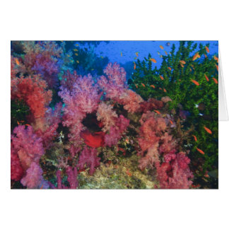 schooling Fairy Basslets  (Pseudanthias 4 Card