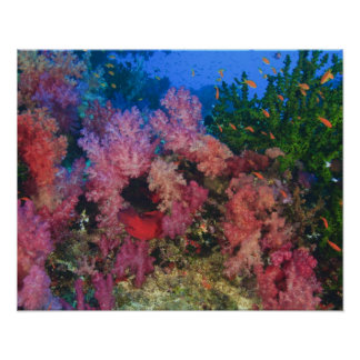 schooling Fairy Basslets  (Pseudanthias 4 Poster