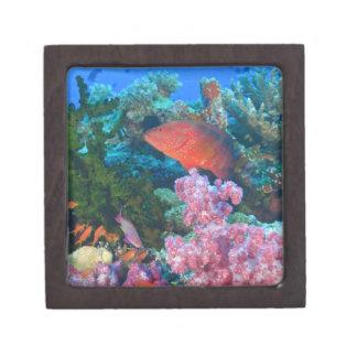 schooling Fairy Basslets  (Pseudanthias Jewelry Box